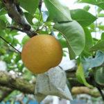 荒尾梨で最も有名な梨「荒尾ジャンボ梨」とは!
