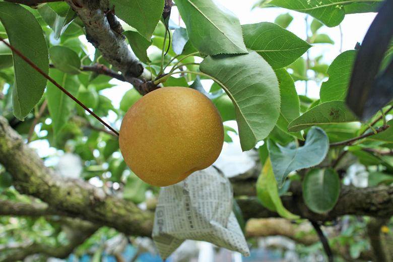 高塚成生の梨