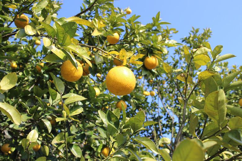 自然栽培和製グレープフルーツ