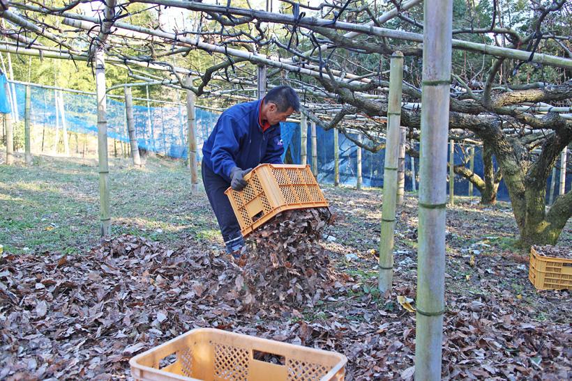 クヌギの葉を敷き詰める成生梨園