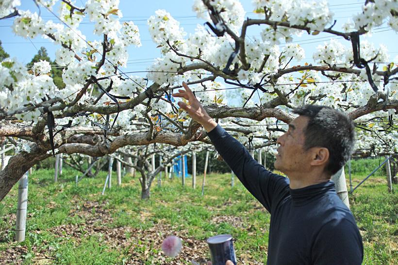 暖冬が影響して起こる梨の病気とは?