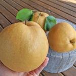 荒尾梨は他の梨と比べるとどれくらい大きいの?