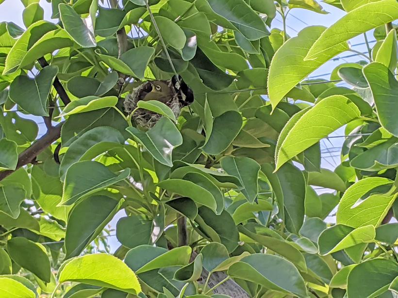 高塚の荒尾梨に来る小鳥