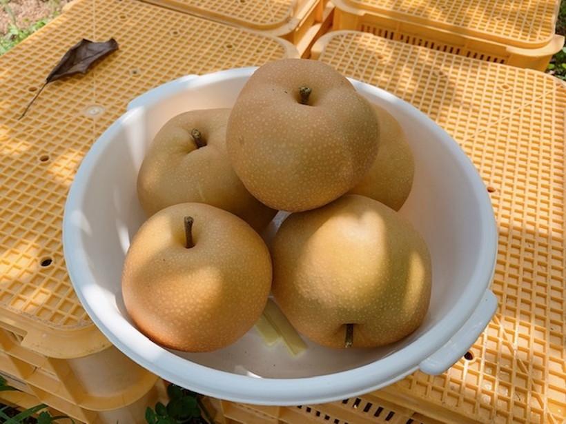 長持ちする梨の保存方法とは?