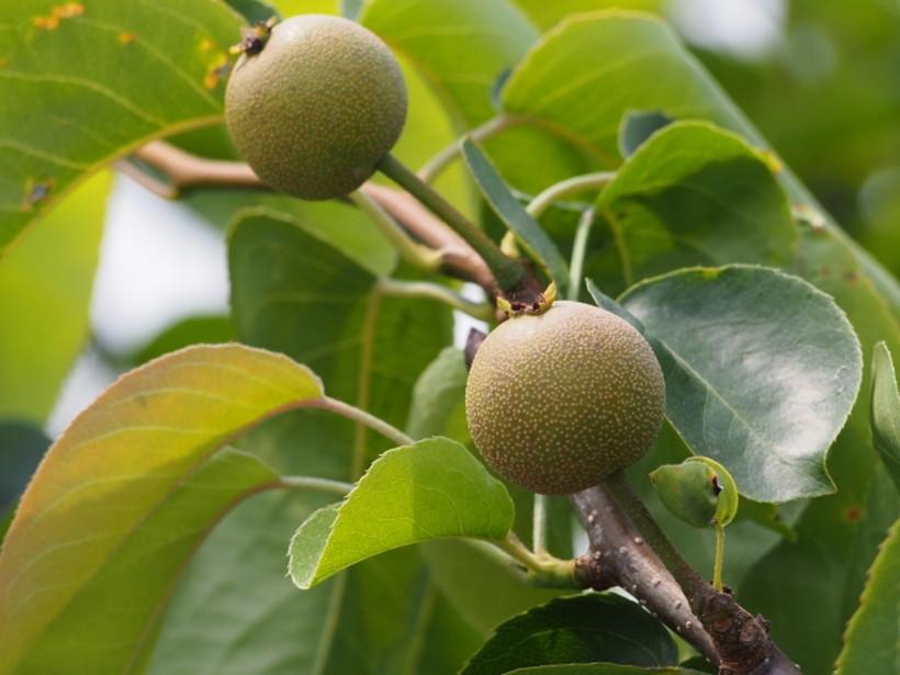 荒尾梨の栽培に欠かせない摘果とは?