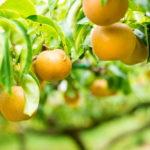 荒尾梨の美味しい見分け方とは?特性に注目!