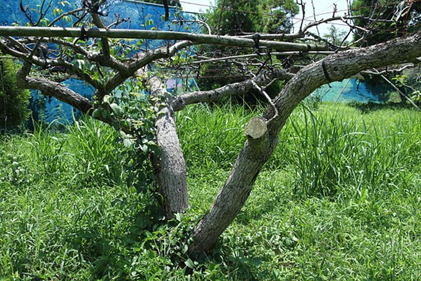 枯れた梨の木
