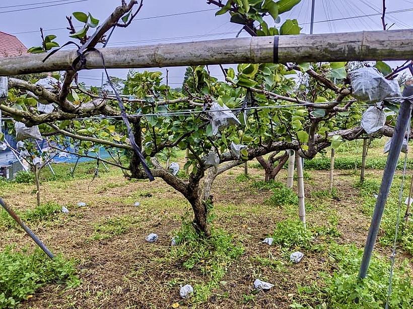 台風後の新高梨