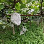 荒尾梨は暖冬、台風、水害にも負けず今年も立派に実りました!