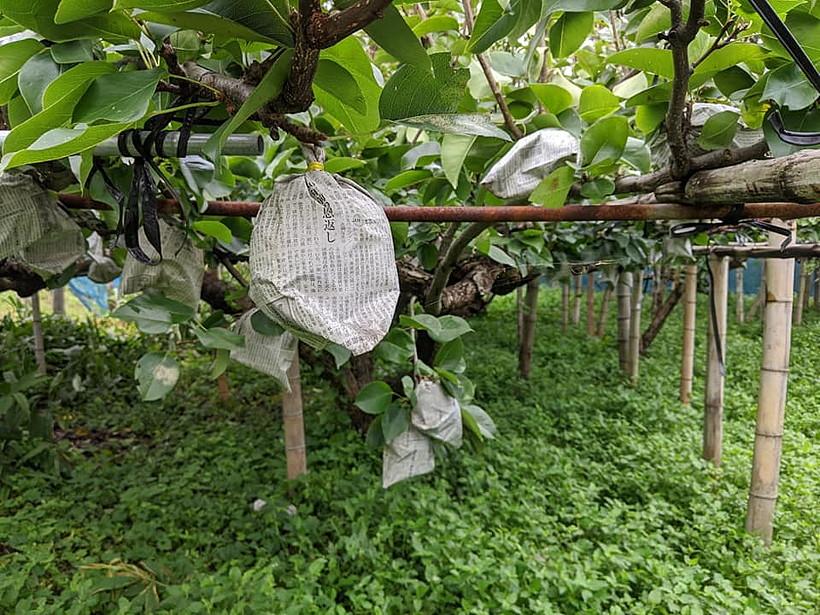 荒尾梨の無農薬栽培はどれだけ難しいのか