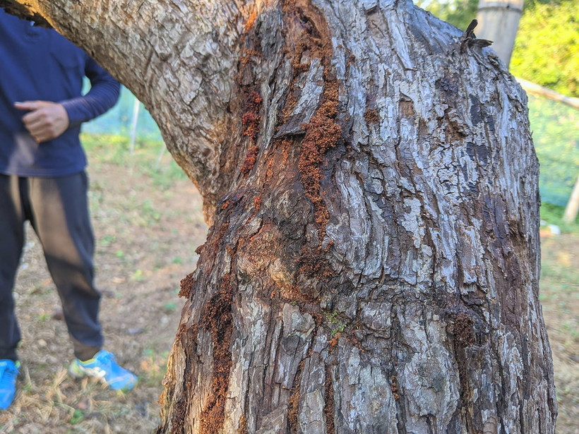 蛾の幼虫が入った梨の木