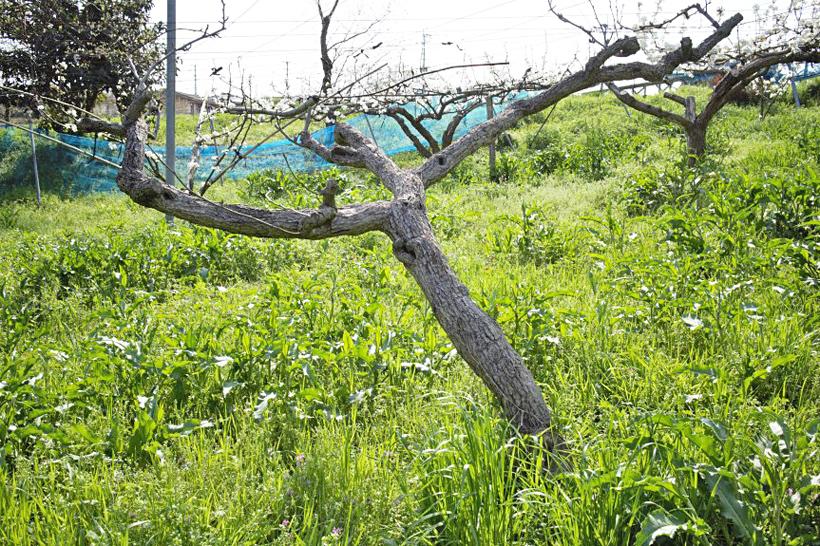 枯れた梨の樹