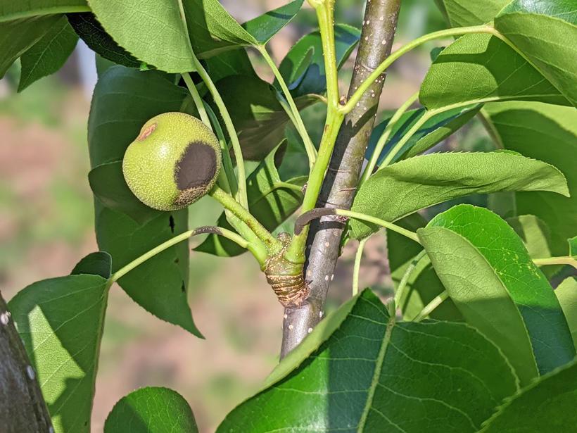 梨の黒星病