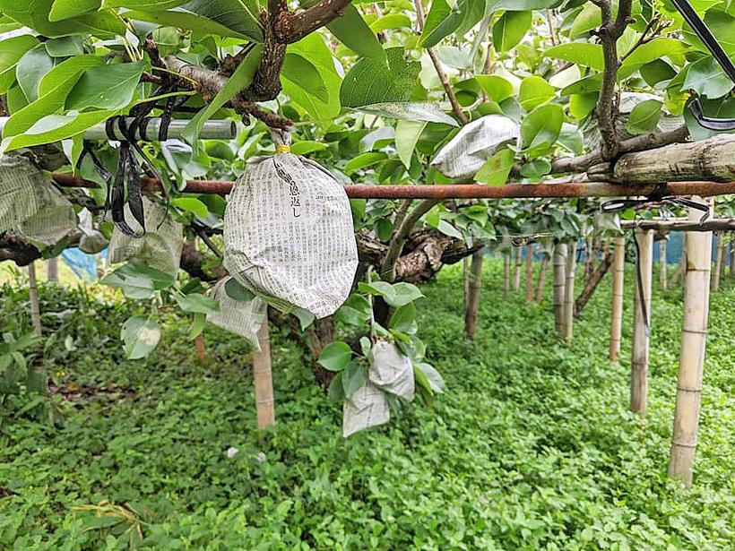 荒尾梨の無農薬栽培はどれだけ難しいのか!