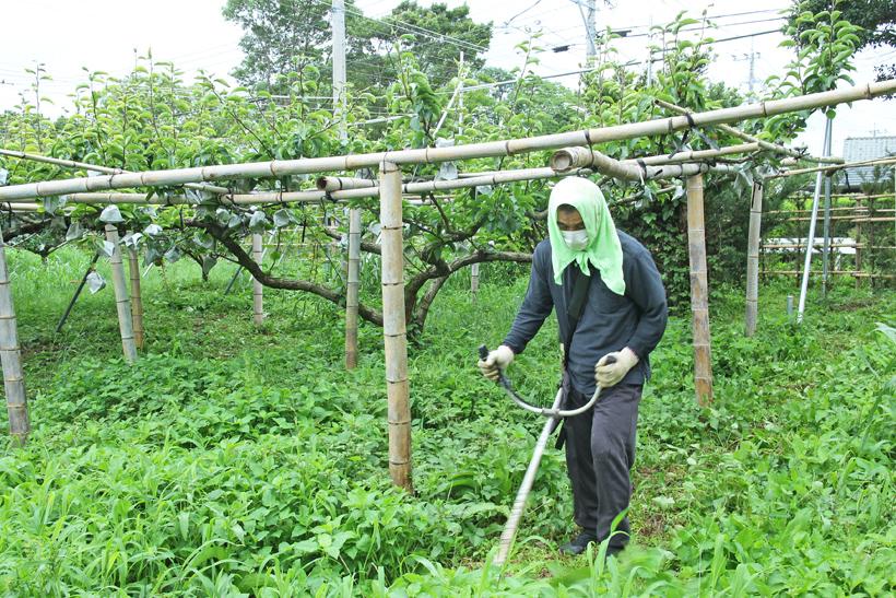 梨園の除草