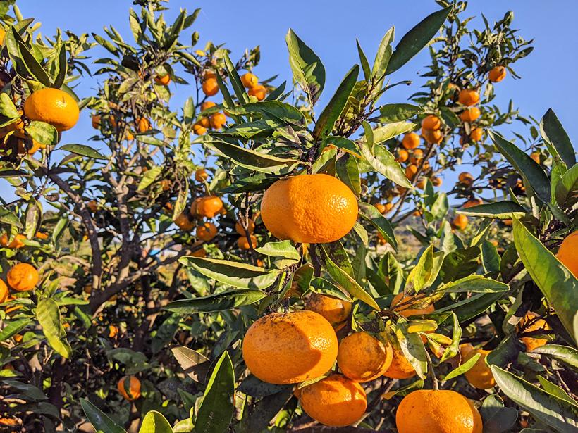 池田自然栽培温州みかんの樹