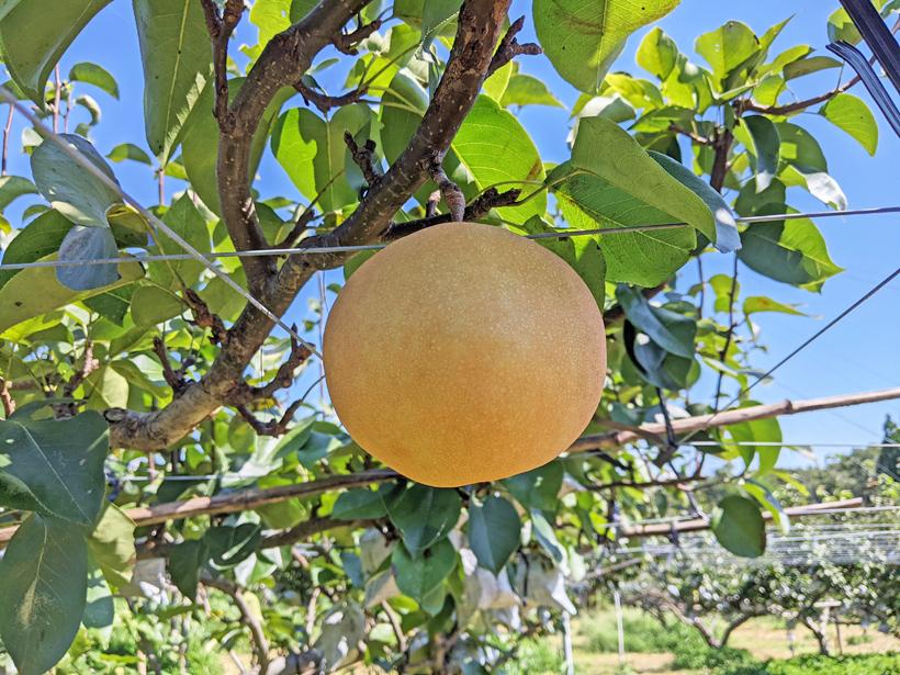 荒尾梨(豊水・あきづき・新高)の美味しい梨の見分け方と保存方法